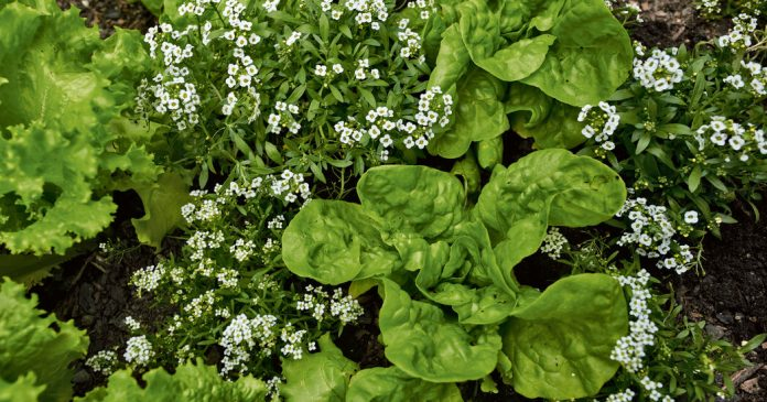 Why Diversity Is an Advantage in a Vegetable Plot