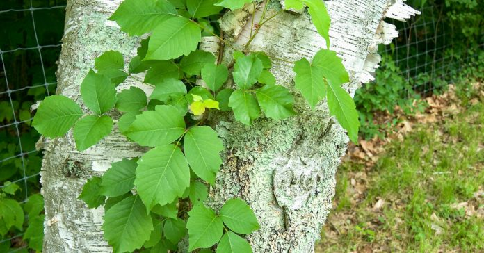 Poison Ivy: What You May Not Know
