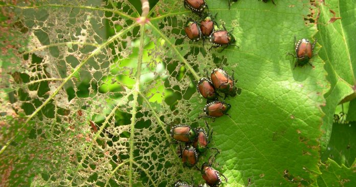 Japanese Beetles Are Back: How to Deal With Them